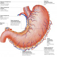 Отделы желудка человека — строение и формы желудка
