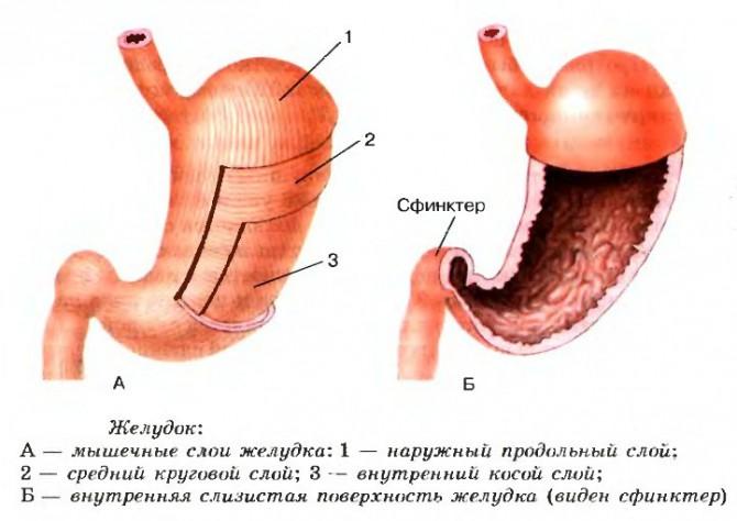 Реферат Хронический гастрит Язва желудка симптомы и лечение