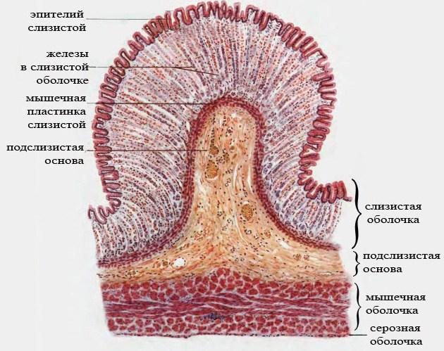 строение стенок желудка