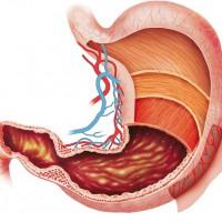 Строение желудка человека в схемах и картинках