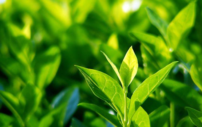 советы по выбору чая при гастрите