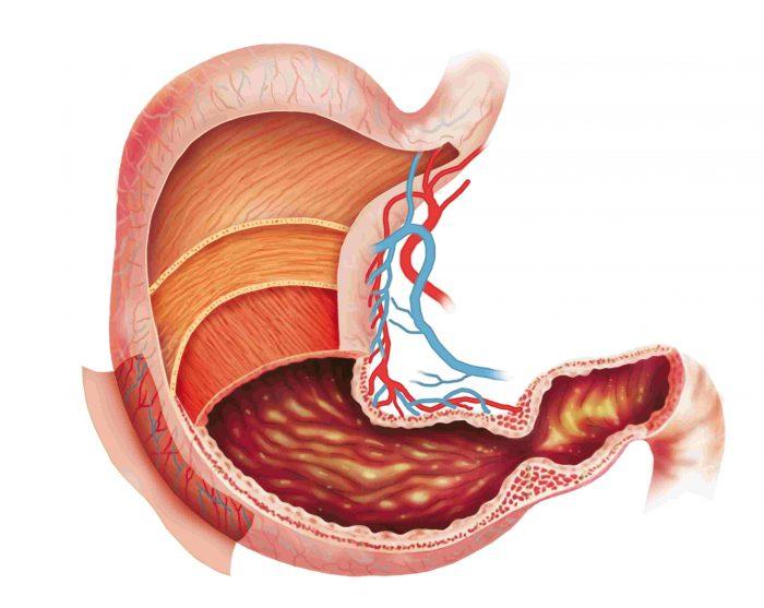 Строение тела желудка