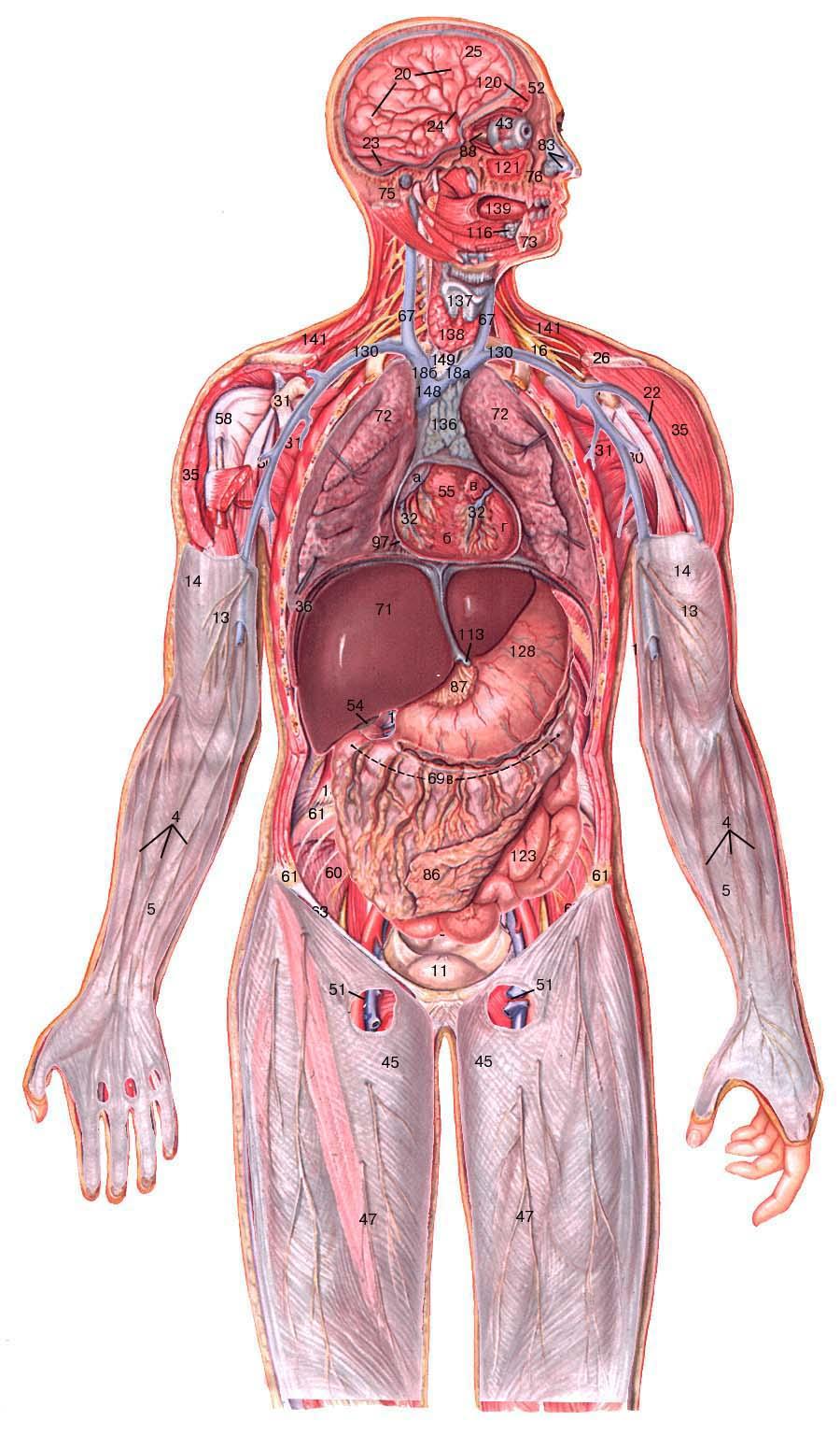 Foto anatomia umana organi 71