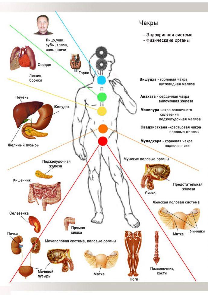 Картинка расположение внутренних органов у человека