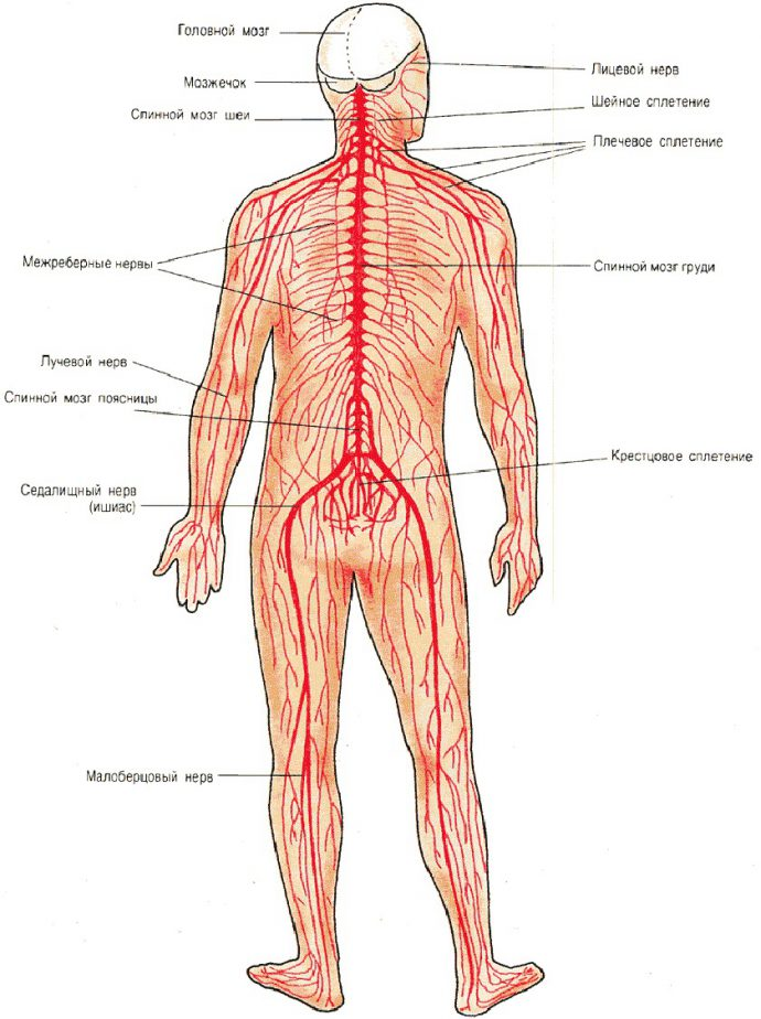 нервы и сплетения