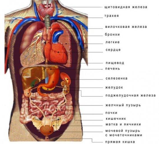 органы у человека