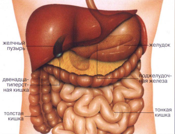 рисунок желудка