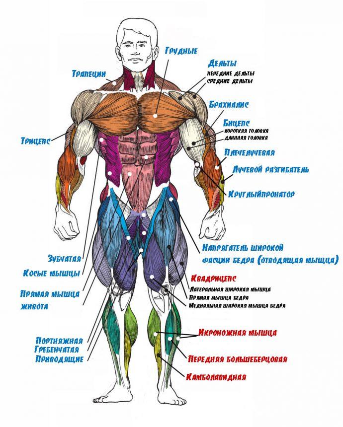 строение мышц человека