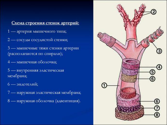 Расположение органов человека в картинках у мужчин со спины