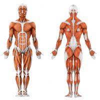 Расположение внутренних органов человека в картинках