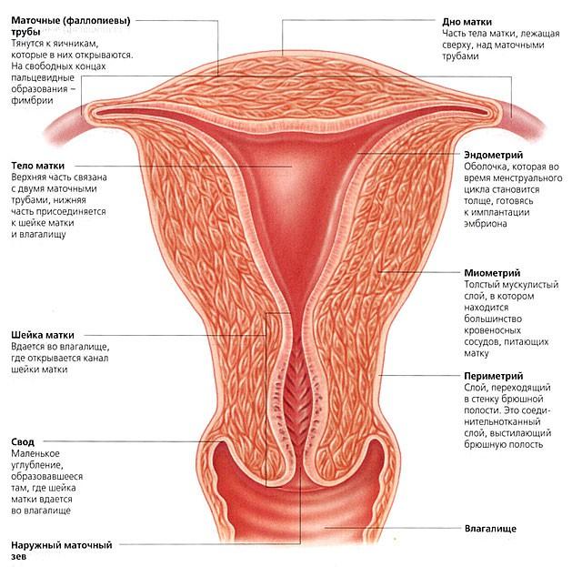 Что находится ниже пупка у женщин