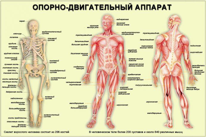 Суставы, кости и связки