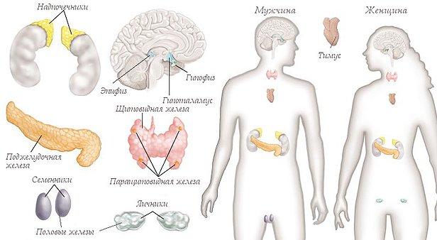 Особенности эндокринной системы
