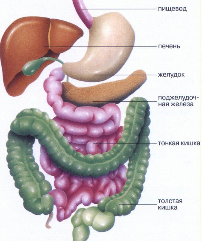 как устроен кишечник
