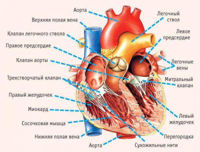 из чего состоит сердце
