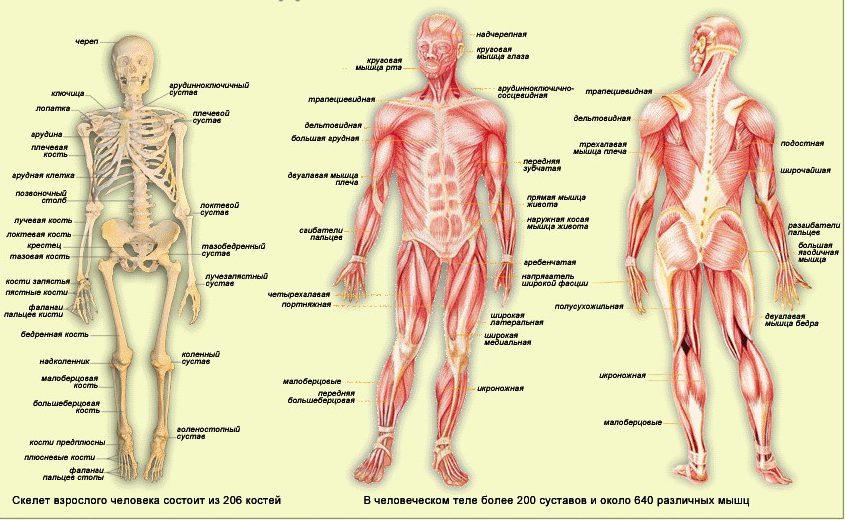 Анатомия человека — строение и расположение внутренних органов.