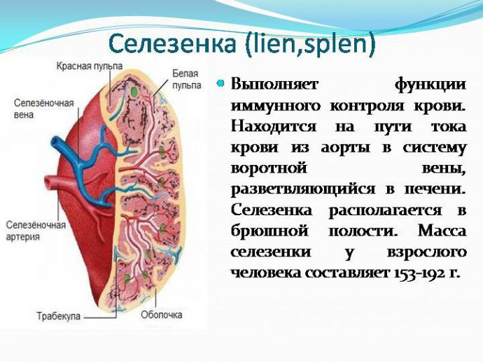 селезенка