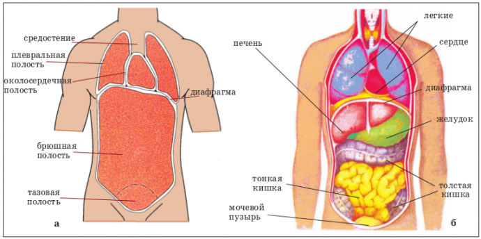 схема на макете внутренние органы