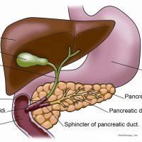 Желчь – это важный компонент пищеварения