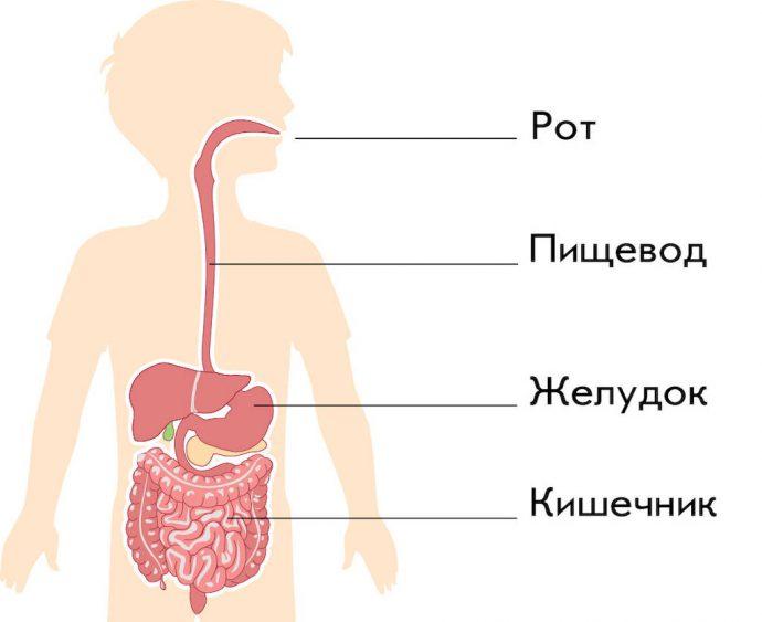 Функциональность пищеварительной системы