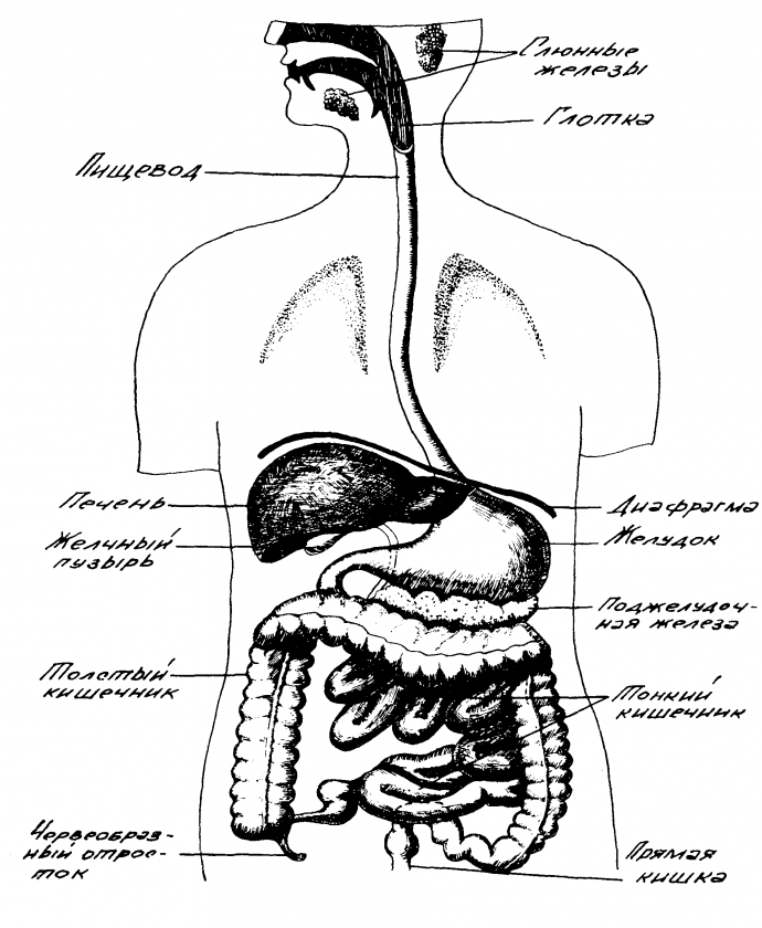 строение органов пищеварения