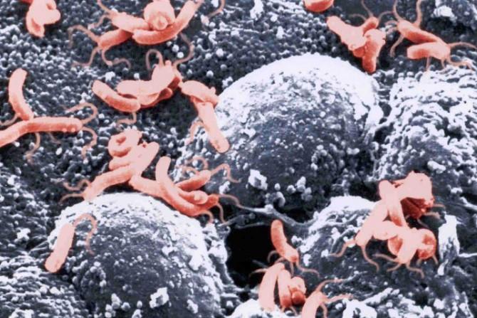размножение хеликобактера