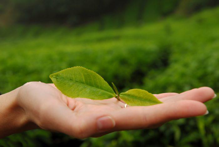 Как помогает зеленый чай при гастрите
