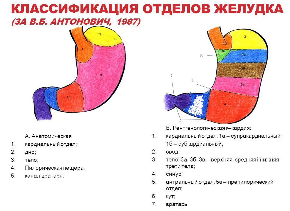 классификация отделов желудка
