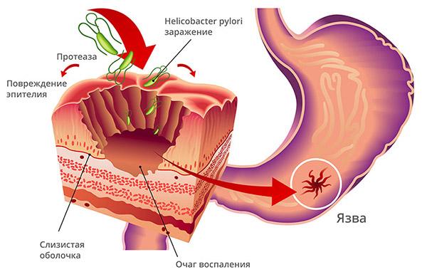 цикл действия бактерии