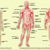 Внутренние органы человека
