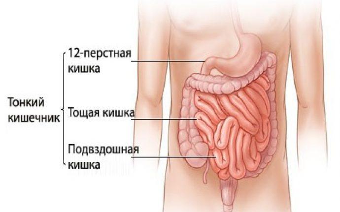 кишечник на картинке