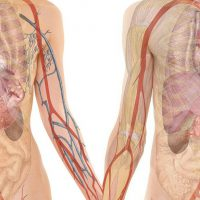 Строение тела человека с описанием органов