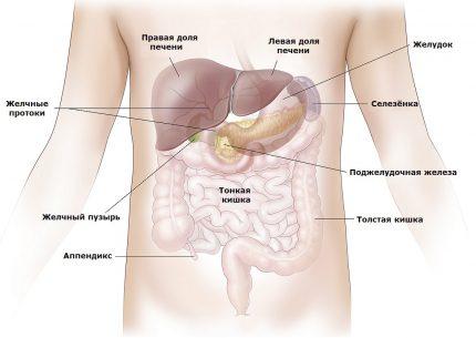 схема расположения внутренних органов