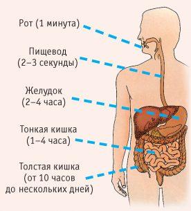 расположение тонкого кишечника