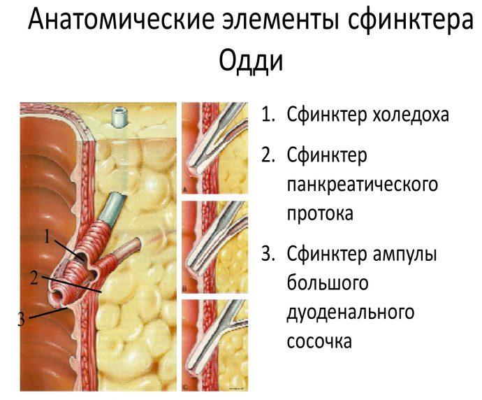 Пищеварительный сфинктер