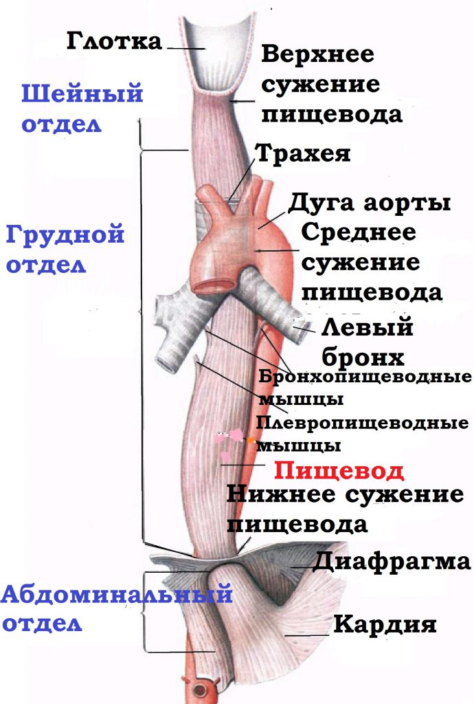 анатомия пищевода